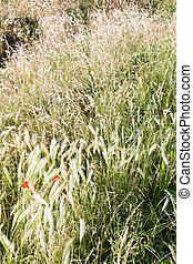 rood, klaprozen, in, zomer, gras
