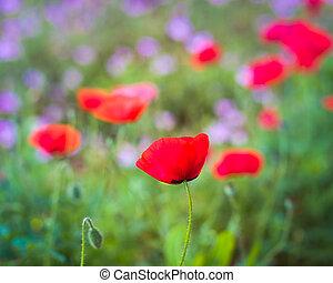 rood, mais klaproos, in, een, wildflower, akker
