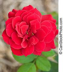 rood, mooi, roos