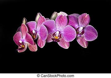 rood, orchidee, vrijstaand, op, zwarte achtergrond