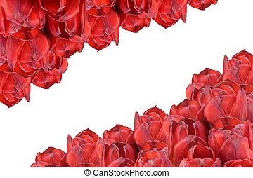 rood, tulpen, isolated., horizontally.