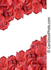 rood, tulpen, isolated., vertically.