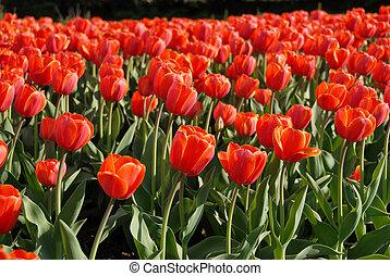 rood, tulpen