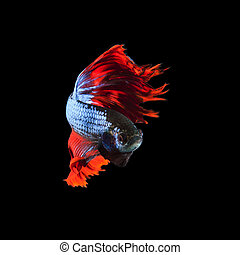 rood, vin, siamese, vecht, betta, visje, volledig lichaam,...