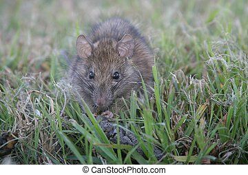 Roof Rat (Rattus rattus) Eating Dog Feces - A North American...