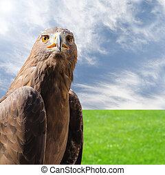 roofdier, vogel, steenarend, op, natuurlijke , zonnig,...