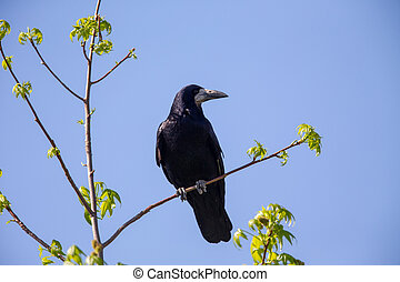 Rook (Corvus frugilegus) sitting on a tree in spring.
