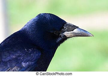 rook, (corvus, frugilegus)