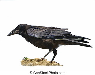 Rook isolated Corvus frugilegus - Rook isolated on white...