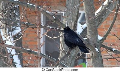 Rook sits on a branch and looks upwards with his head up (Corvus frugilegus)