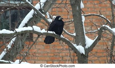 Rook sits on a branch during a snowfall and is indignant (Corvus frugilegus)