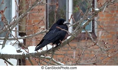 Rook sits on a branch during a snowfall and looks around (Corvus frugilegus)