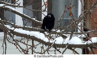 Rook sits on a branch during a snowfall and unexpectedly arrives another rook (Corvus frugilegus)