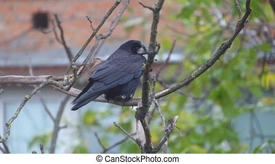 Rook sits on a nut branch under a shallow rain and wind and then flies away (Corvus frugilegus)