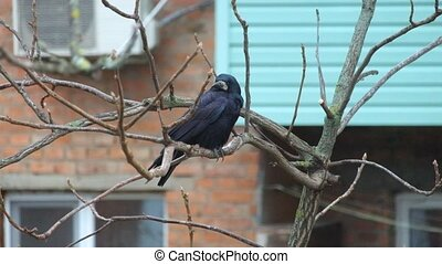 Rook sits on a nut branch under a shallow rain and wind and ...