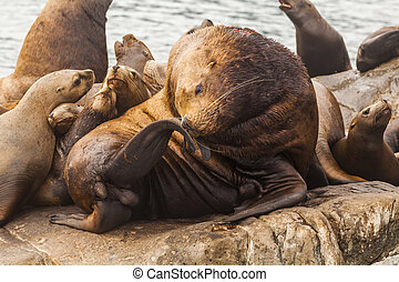 Rookery Steller sea lions. Fauna of Kamchatka Peninsula