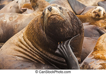 Rookery Steller sea lions. Fauna of Kamchatka Peninsula