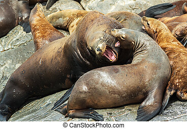 Rookery Steller sea lions. Island in Pacific Ocean near ...