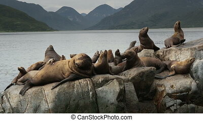 Rookery Steller sea lions. Island in Pacific Ocean near Kamchatka Peninsula stock footage video