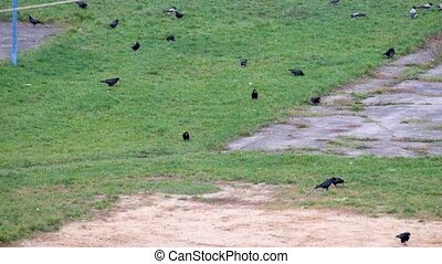 Rooks and Hooded crow are looking for something in the green...