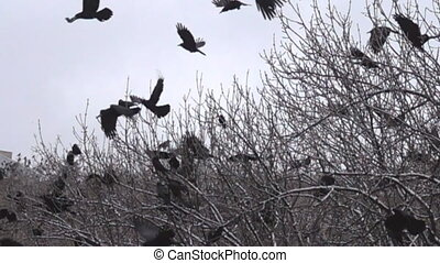 flock of rooks sits on fruit (nut) trees to look for walnuts...