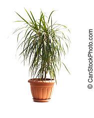 room palm (Dracaena marginata)