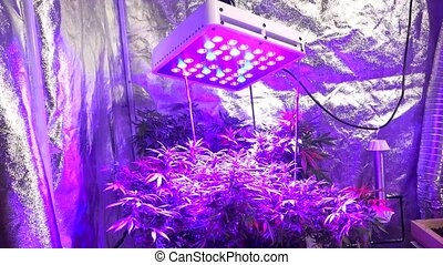 Marijuana growing in the led light room shot in low angle.