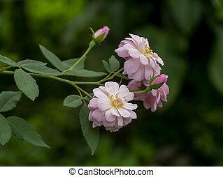 roos, afsluiten, achtergrond., roze, verdoezelen, op, bloem, damast