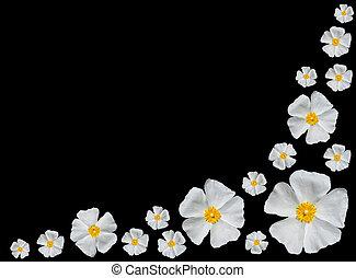 roos, alba, -, groep, van, mooi, witte , rozen, vrijstaand, op, black