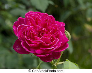 roos, bloem, damast, roze