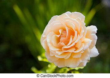 roos, bloem, delicaat, perzik, color.