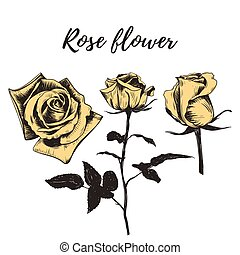 roos, bloem, flower., schets, gele