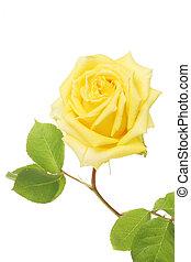 roos, bloem, gele