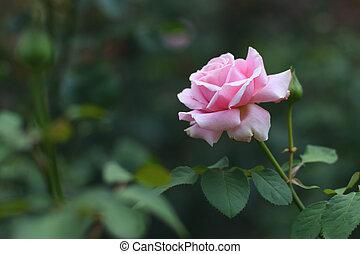 roos, bloemtuin