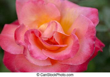 roos, -, damascena, rosa, damast