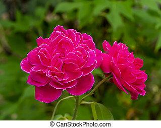 roos, damast, bloem, roze