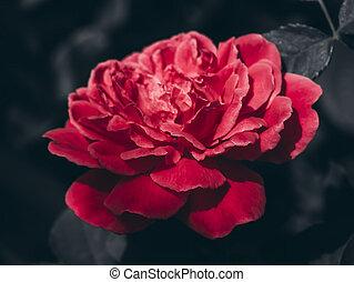 roos, darky, afsluiten, damast, op, achtergrond, bloem