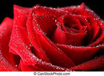 roos, dauw verschieet