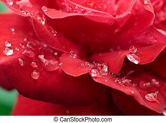 roos, druppels, romantische, rood, dauw