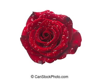 roos, druppels, rood, dauw