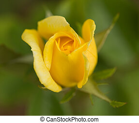 roos, gele, mooi