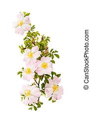 roos heupen, bloemen, vrijstaand, tak