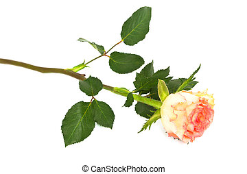 roos, op, een, witte achtergrond