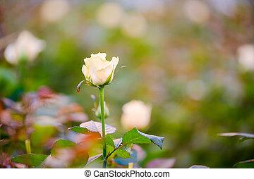 roos, op, struik, afsluiten, witte , knop