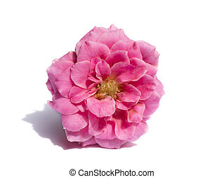 roos, roze, witte , achtergrond., bloem