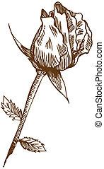 roos, tekening, twee