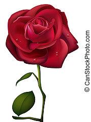 roos, waterdrop, rood