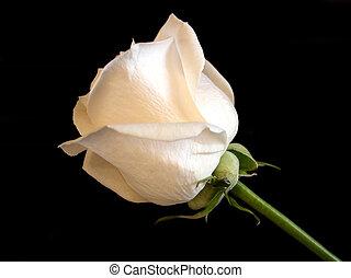 roos, witte , bloem