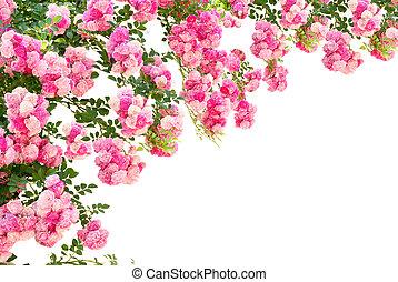 roos, witte bloemen, vrijstaand, achtergrond