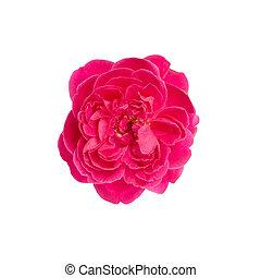 roos, witte , vrijstaand, achtergrond, damast